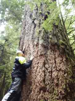 The largest tree in Cathedral Grove